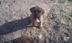 2 male and 1 female boxer pups for sale in Emerald.