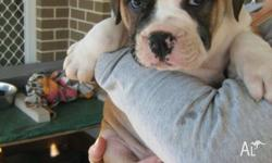 British Bulldog x English Staffordshire Pups 4 x Male