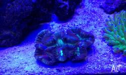 Selling my brain coral , had It I'm a established reef