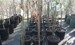 CLEARANCE ON JAPANESE MAPLES- LIMITED STOCK