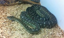 Selling my 20 month old male Bredli python with