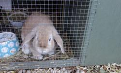 MINI LOP BREEDING BUCK ORANGE 28.5.13 Dam self