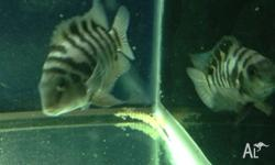 Breeding Convict Cichlid Pair for sale. Healthy, active