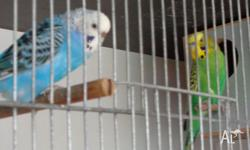 1 pair of breeding budgies $ 30. recently been wormed.