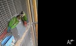 DNA tested Male and Female, Avairy birds Selling all
