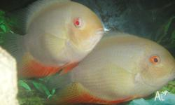 large breeding pair, beautiful looking fish, non