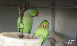 I have 2 indian ringnecks for sale. Male and female,