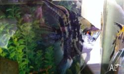 I have a male and female angelfish that are about 1
