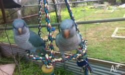 Breeding pair of hand raised quakers, DNA sexed $500