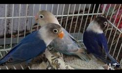 Breedng pair of lovebirds for sale $100. Picture is of