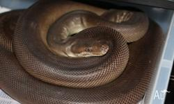Male Olive python -- Roughly 7ft, nice placid snake. -