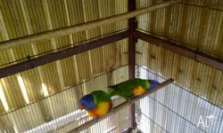 Breeding pair rainbow lorrikeet, proven, female