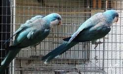 2 x BREEDING PAIRS BLUE QUAKERS FOR SALE. PAIR 1 - THEY
