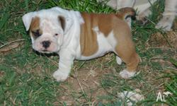 2 British Bulldogs Puppies/Purebreds 2 females,10 week