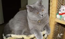 BSH Adult female blue fantastic cat who is desexed,