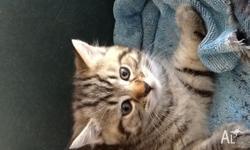 Black tabby silver male vaccinated microchipped wormed