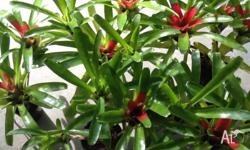 I have 5 bromeliads for sale- several bromeliads on