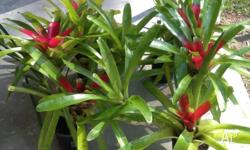 I have 4 bromeliads for sale, grown in 140mm pots.