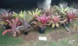 Bromeliads for sale $5 - $10 each discount if you