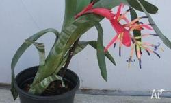 BROMELIARDS - MATCHSTICK, ALSO WITH VARIEGATED LEAF,