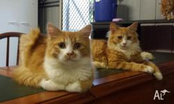2 stunning brother kittens ... super friendly and