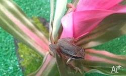 We have brown tree frogs for sale for $29.95 each or 2