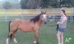 A beautiful buckskin brumby brood mare about 12hh,