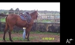 BUDDY BAY QUATER HORSE GELDING 15.1HH 13YO GREAT RIDING