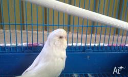 beautiful big white budgie, friendly . Includes cage