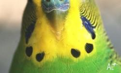 Very healthy budgies for sale $25 each Many colours