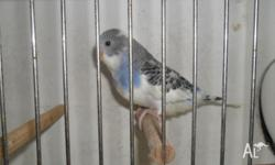 For sale a young runner male blue and white pied