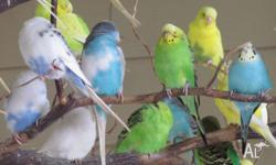 i have a lot of budgies for sale some are show budgies
