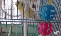 Beautiful Yellow Budgie 12 months old with Cage and