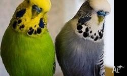 Various budgies for sale $25 each You chose which bird