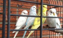Budgies adults $ 15 each Male and female budgies very