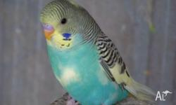 BREEDER CLEARANCE ADULT & BABY BUDGIES MANY COLORS