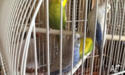 I have a number of budgies for sale, MALES: 1 blue to