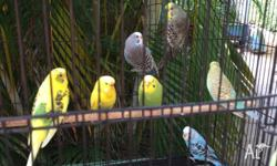 Budgies for sale $15 each or $30 a pair, between 6