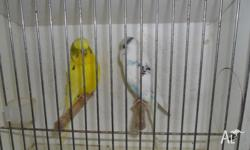 I have for sale 2 male budgies about 2yrs old. $10