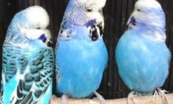 Hello, I have available some quality Budgies most 4 -