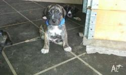 PRICE DROPPED TO $300 EACH bull arab x English mastiff