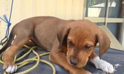 8 week old Bull Arab x Ridgeback x Dane Puppies For