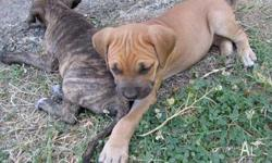 Big, strong, healthy puppies. 7 weeks old. Male and