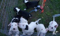 Male Bull terrier puppies for sale - born 17th July