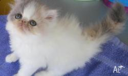 Persian Kittens, Looking for their forever indoor pet