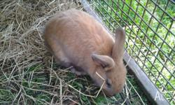 I have 3 gorgeous Standard X Lop bunnies ready to go to