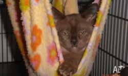 I have a beautiful brown female Burmese kitten