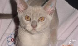 I have 2 pedigree Burmese kittens available. 1 lilac