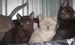 Burmese Kittens For Sale For Sale In Bellevue Heights South Australia Classified Australialisted Com