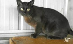 I have a lovely big brown Burmese 4 year old neuter to